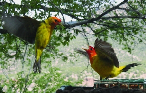 TN Tanager_0179 (2)