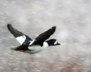 Photo by Stephen Knox Barrow's Goldeneye takes flight over Rio Grande