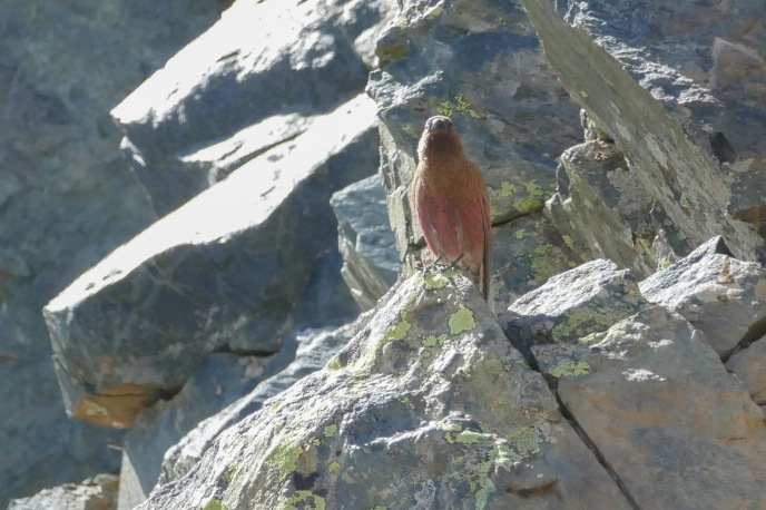 C. Brown-capped Rosy-Finch